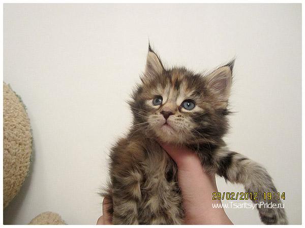 фотографии котят породы мейн кун