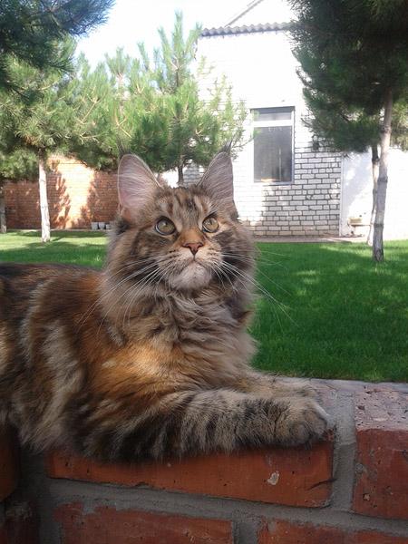 Кошка породы мейн кун