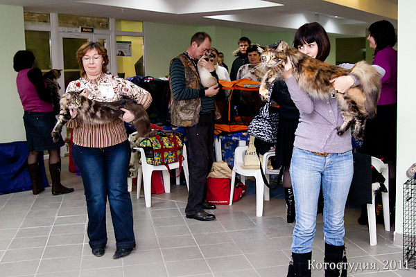 Кошки породы мейн кун, Волгоград. Международная выставка кошек