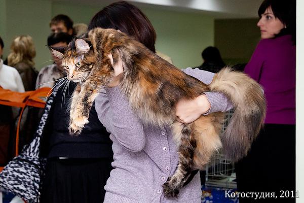 Волгоград, призовое место на международной выставке кошек